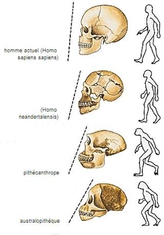 1587925485_1001197-succession_chronologique_des_hominiens.jpg